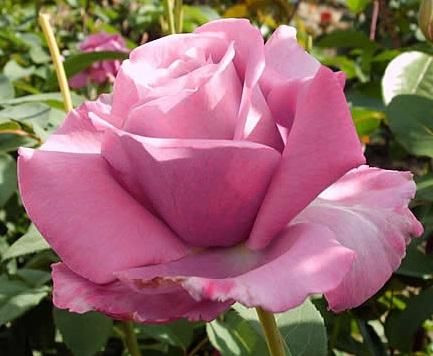Роза сиреневая сиси