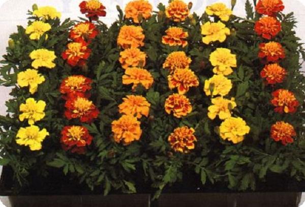 Балконные растения фото цветок в виде