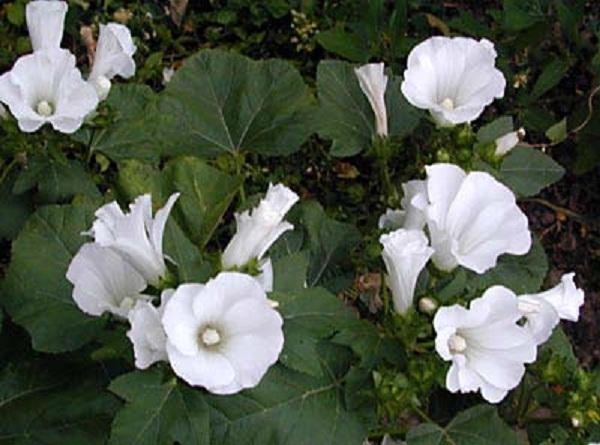 декоративные садовые цветы белые Лават…